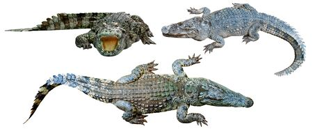 collection crocodile isolated on white background