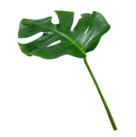 Green leaf monstera isolated on white background