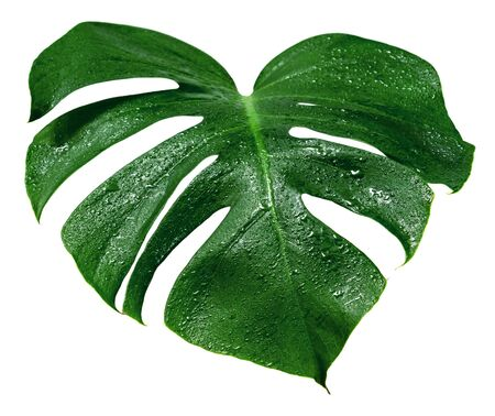 Green leaves pattern, leaf monstera with water drop isolated on white background