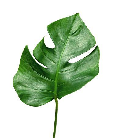 Green leaves pattern, leaf monstera isolated on white background 版權商用圖片