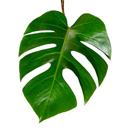 Green leaves pattern leaf monstera isolated on white background