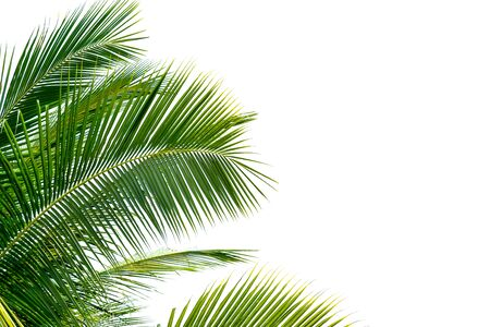 Green Leaves of palm, coconut tree bending isolated on white background