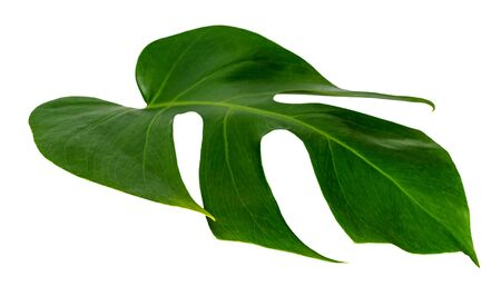 monstera leaf isolated on white background green leaves pattern