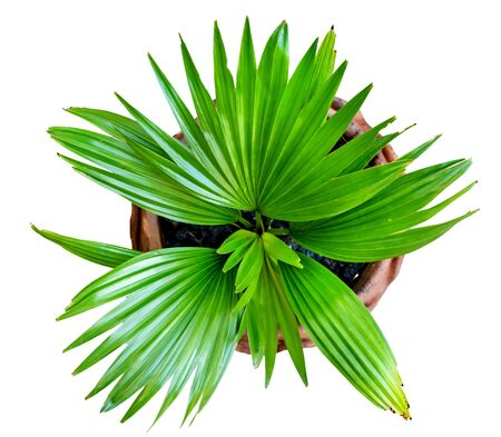 green palm leaves pattern with vase for nature concept, tropical leaf isolated on white background, top view