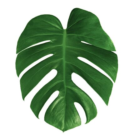 leaf monstera isolated on white background ,Green leaves pattern