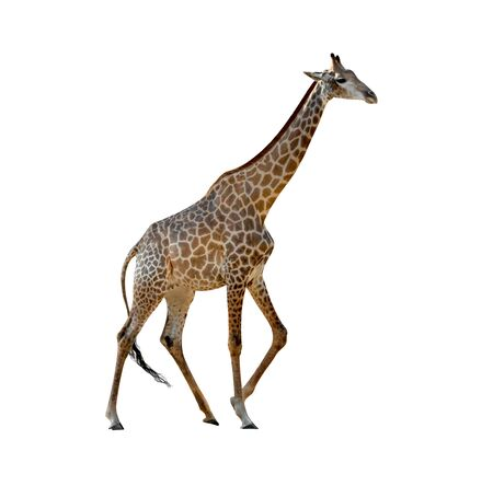 Giraffe isolated on white background ,include clipping path Stock Photo
