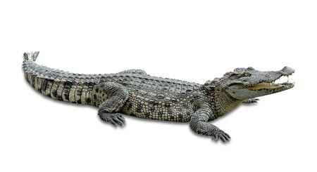 crocodile isolé sur fond blanc, inclure un tracé de détourage