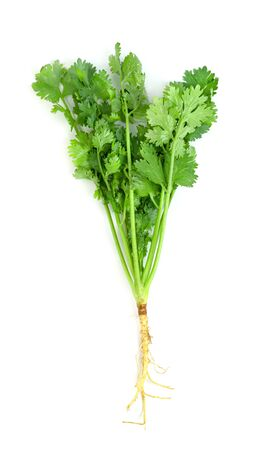 leaf Coriander or Cilantro isolated on white background ,Green leaves pattern   Stock Photo