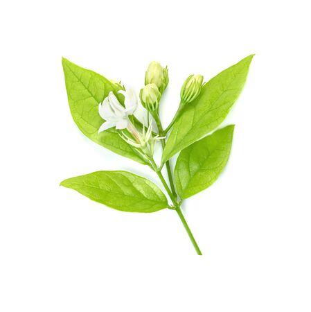Jasmine flower isolated on white background  Stock Photo