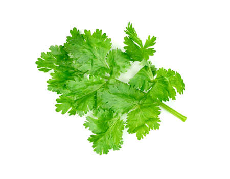 leaf Coriander or Cilantro isolated on white background ,Green leaves pattern Zdjęcie Seryjne