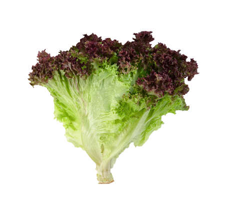 red coral lettuce on white background  ,Green leaves pattern ,Salad ingredient