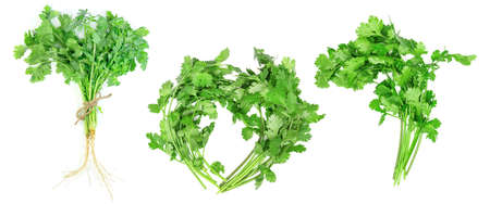 leaf coriander or cilantro set isolated on white background ,Green leaves pattern Stock Photo