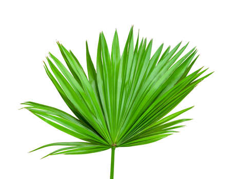 Green leaves pattern,tropical fan palm leaf isolated on white background