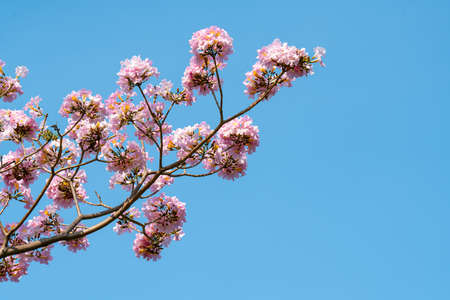 Pink trumpet tree or Tabebuia rosea with blue sky background