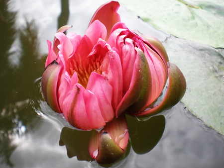 nymphaeaceae: Twin lotus, central of Thailand