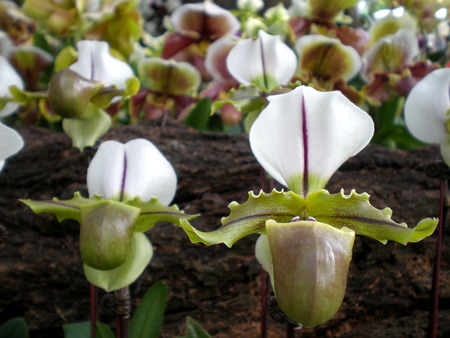 lady slipper: Lady slipper Orchids from central of Thailand Stock Photo