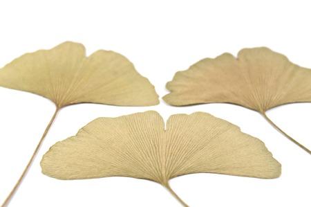ginkgo leaf: Dry ginkgo leaf Stock Photo