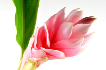 alpinia: Pink ginger flower, Alpinia purpurata Stock Photo