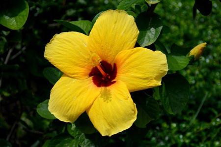 dicot: Hibiscus flower, Hibiscus sp , Central of Thailand