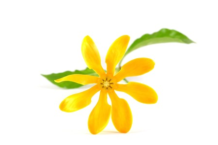 Golden gardenia flower, Gardenia carinata, Central of Thailand photo