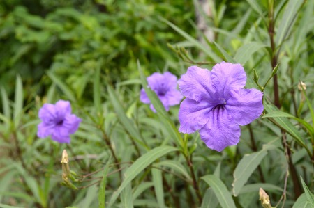 lance shaped: Ruellias flower, Ruellia simplex, Central of Thailand Stock Photo