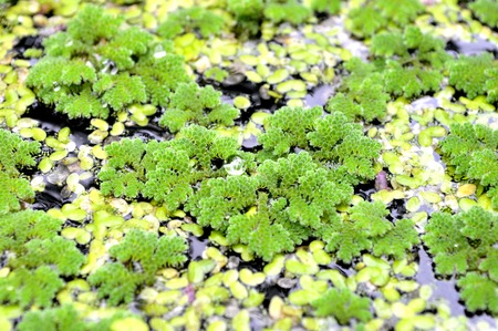 Mosquito fern and Common duckweed from central of Thailand photo
