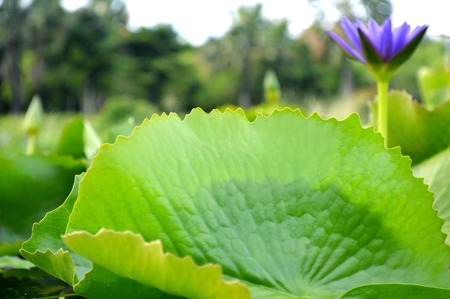 nymphaeaceae: Lotus leaves and flowers, Nymphaea sp., Family Nymphaeaceae, Central of Thailand