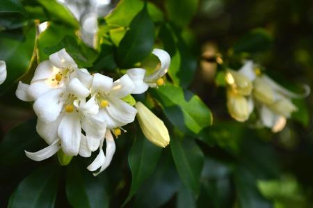 rutaceae: Orange jessamine, Murraya paniculata, Family Rutaceae, Central of Thailand