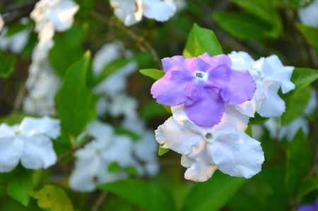 solanaceae: Yesterday today and tomorrow flower, Brunfelsia pauciflora, Family Solanaceae, Central of Thailand