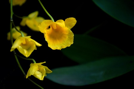 orchidaceae: Dendrobium lindleyi, Family Orchidaceae, Central of Thailand Stock Photo