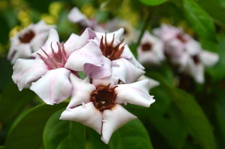 Climbing oleander, Strophanthus gratus, Family Apocyanceae, Central of Thailand