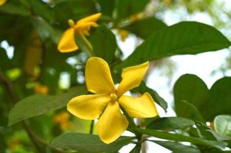 Gardenia flower, Gardenia sootepensis, Family Rubiaceae, Central of Thailand photo