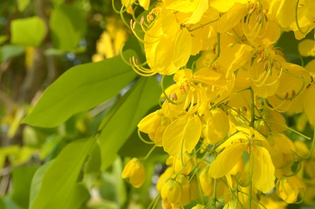 fabaceae: Golden shower tree flower, Cassia fistula, Family Fabaceae, Central of Thailand