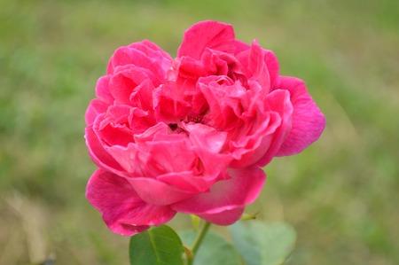 rosaceae: Red damask rose, Rosa damascena, Family Rosaceae, Central of Thailand