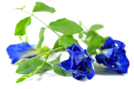 fabaceae: Butterfly pea, Clitoria ternatea, Family Fabaceae, Central of Thailand Stock Photo