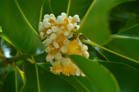 Alexandrian laurel flower, Calophyllum inophyllum, Family Calophyllaceae, Central of Thailand photo
