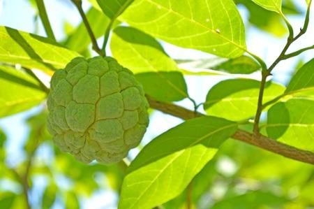 annonaceae: Sugar apple, Annona squamosa, Family Annonaceae, Central of Thailand