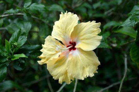 malvaceae: Yellow Hibiscus flower Hibiscus sp  Family Malvaceae Central of Thailand Stock Photo