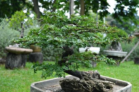 rutaceae: Bonsai de manzana de madera Feroniella lucida familia Rutaceae central de Tailandia