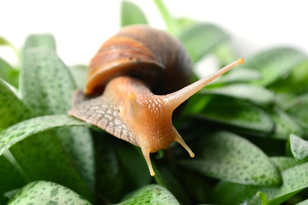 mollusca: Land snail Helix sp. Phylum Mollusca Central of Thailand Stock Photo