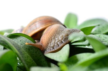 phylum: Land snail Helix sp. Phylum Mollusca Central of Thailand Stock Photo