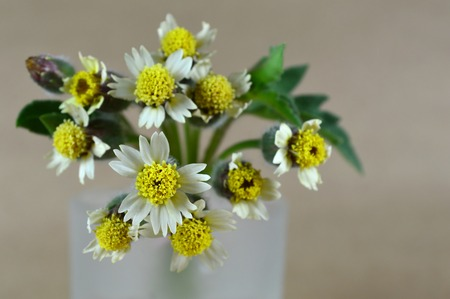asteraceae: Tridax daisy flower, Tridax procumbens, Family Asteraceae, Central of Thailand