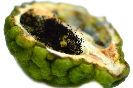 sexual reproduction: Fungi on kaffir lime on white background