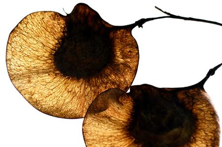 fabaceae: Malay padauk fruit, Pterocarpus indicus, Family Fabaceae, Central of Thailand