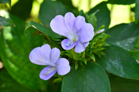 acanthaceae: Purple Barleria strigosa, Family Acanthaceae, Central of Thailand Stock Photo