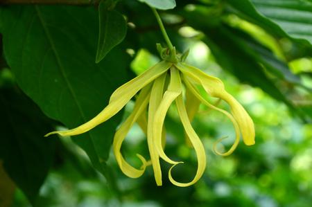 annonaceae: Dwarf ylang ylang flower, Cananga odorata var. fruticosa, Family Annonaceae, Central of Thailand Stock Photo