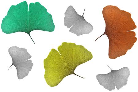 ginkgo leaf: Ginkgo leaf, Ginkgo biloba, on white background Stock Photo