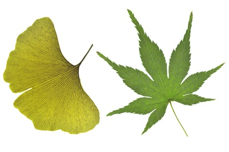 Ginkgo and Japanese maple leaf on white background