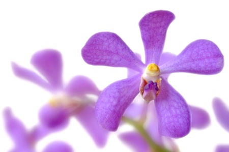 sepal: Purple mokara orchid from Central of Thailand