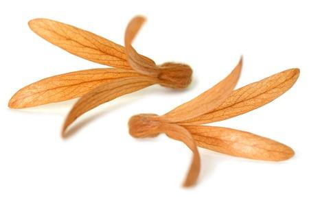 dioecious: Dried Palo Santos flower, Triplaris cumingiana, Central of Thailand